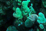 Whitemouth Moray, Gymnothorax meleagris, Rare color variant, (Shaw & Nodder), 1795, Maui Hawaii