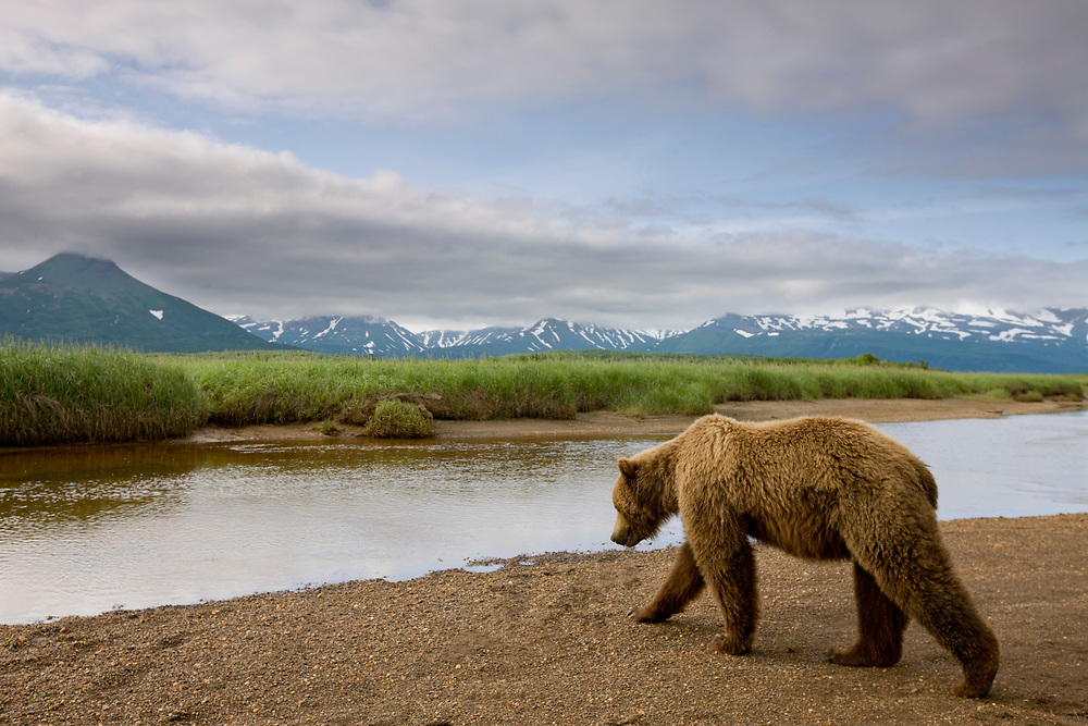 USA, Alaska, Katmai National Park, Brown Bear (Ursus arctos) walking along stream by Hallo Bay