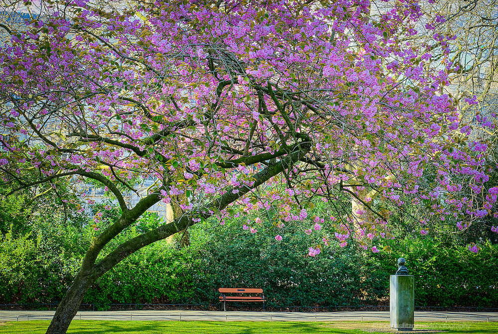 Dublin, Ireland, 2014: A Beautiful Cherry Tree in Full Bloom hangs over a bench in the St. Stephen's Green park in the centre of Dublin city.
