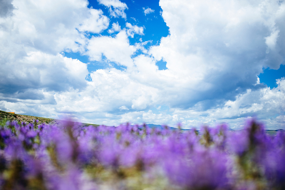 Purple wildflowers and an open blue sky in Tsagaannuur, Mongolia.