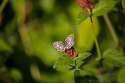 Common Checkered Skipper, Pyrgus communis, Kleb Wood Nature Park, Tomball, Texas
