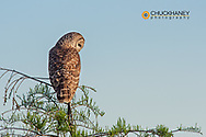 Male barred owl in Everglades National Park, Florida, USA