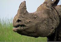Mud face female Rhino