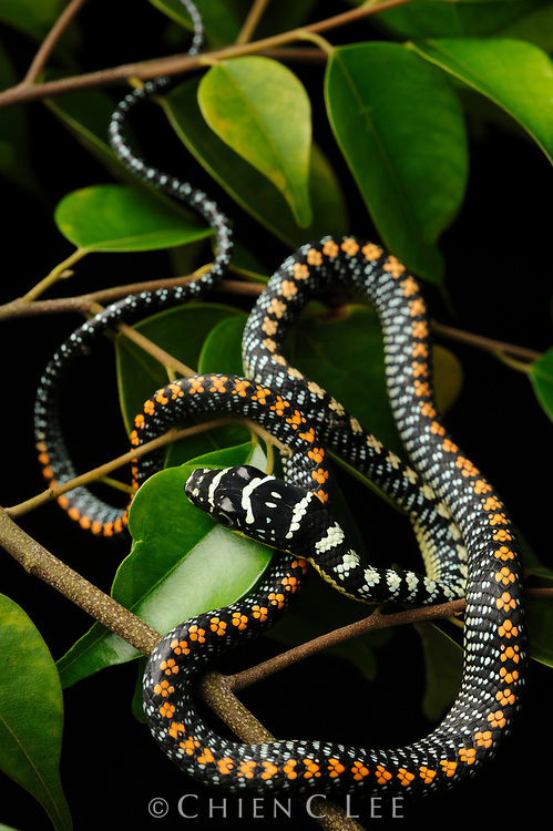 Paradise Tree Snake (Chrysopelea paradisi), a gliding snake from the rainforests of Borneo. Sarawak, Malaysia.