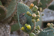 A common cactus finch feeds on a Prickly pear cactus on the island of Genovesa in the Galapagos islands of Ecuador.