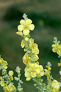 HOARY MULLEIN Verbascum pulverulentum (Scrophulariaceae) Height to 2m. Upright biennial, covered in white, woolly hairs that easily rub off the leaves. Grows in dry calcareous grassland. FLOWERS are 15-35mm across, 5-lobed and yellow, with whitish hairs on all stamens; in branched spikes (Jul-Sep). FRUITS are egg-shaped capsules. LEAVES are ovate; woolly on both sides. STATUS-Local, E Anglia only.