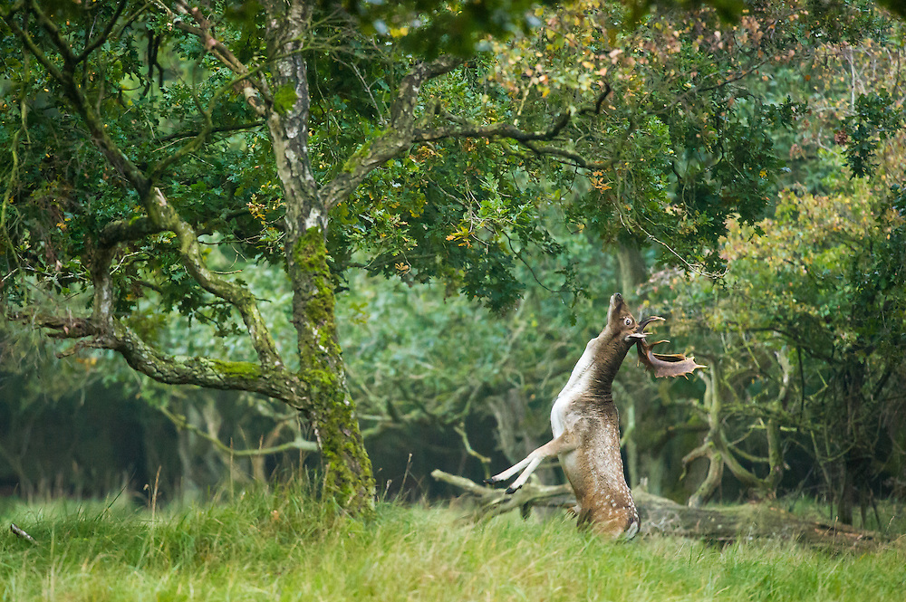 Fallow Deer (Dama dama) stag standing on his hind legs attempting to trash branches in a tree during the rut
