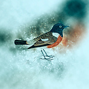 Digitally enhanced illustration of a 19th century artwork of African stonechat or common stonechat (Saxicola torquatus)