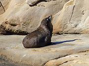 New Zealand Sea Lion at beach in Dunedin
