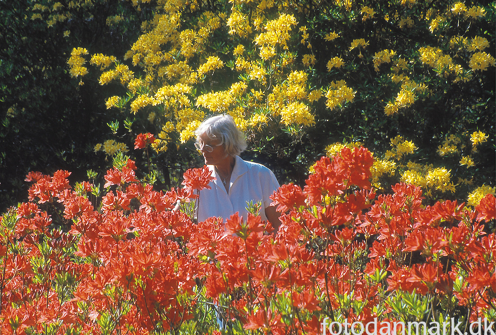 Red and yellow rhododendron with woman