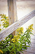 Goldenrod (Solidago sempervirens) grows on the beach by the new Sandwich boardwalk on Cape Cod, Massachusetts, USA.