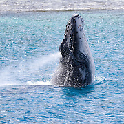 Humpback whales exhale forcefully when they breach, inhaling again prior to re-entering the water, as demonstrated by this playful calf. This young whale was with its mother and an escort. The escort was also engaged in energetic surface displays. The calf's mother, however, did not engage in any surface behaviour.