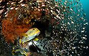 Yellow-ribbon sweetlip (Plectorhinchus polytaenia) Raja Ampat, West Papua, Indonesia, Pacific Ocean  [size of single organism: 30 cm]   Goldband-Süßlippe (Plectorhinchus polytaenia) Raja Ampat, West Papua, Indonesien, Pazifischer Ozean