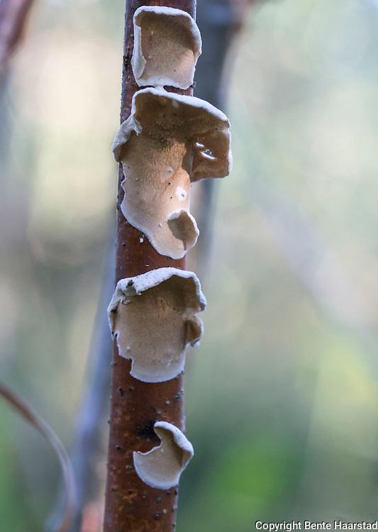 Sannsynligvis hvit rynkesopp, Plicatura nivea. Små sopper, 0.5-08 cm bred, vokser på gråor, døde pinner.