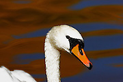 IDAHO. Boise. Mute Swan (Cygnus olor) close-up with reflections of golden autumn leaves. September 2006. #bw060086