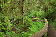 Quinault Rainforest Trail, Olympic National Forest, Washington.