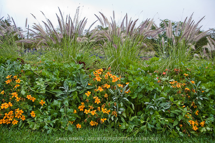 An ornamental edible planting of celery, silver sage and tangerine Gem marigolds.