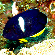 Keyhole Angelfish inhabit reefs. Picture taken Bail, Indonesia