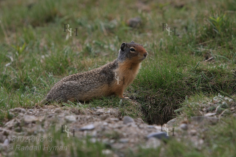 Columbian ground squirrel (Urocitellus columbianus) pauses at burrow entrance; Lake Louise, Banff National Park, Alberta, Canada.