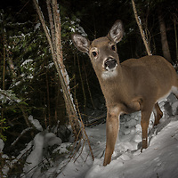 A camera trap captures a female white-tailed deer, Odocoileus virginianus, New Brunswick, Canada