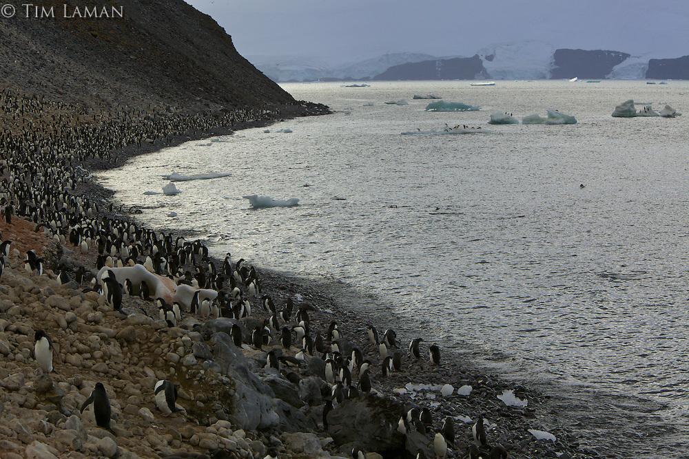 Adelie Penguin (Pygoscelis adeliae) colony on Paulet Island, Weddell Sea.
