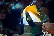 Heniochus monoceros (Masked bannerfish)