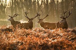 © Licensed to London News Pictures. 28/12/2017. London, UK. Stags stand in frost covered bracken in Richmond Park. Tonight is predicted to be the coldest night of the year with temperatures as low as minus 15 °C in some parts of the UK. Photo credit: Peter Macdiarmid/LNP