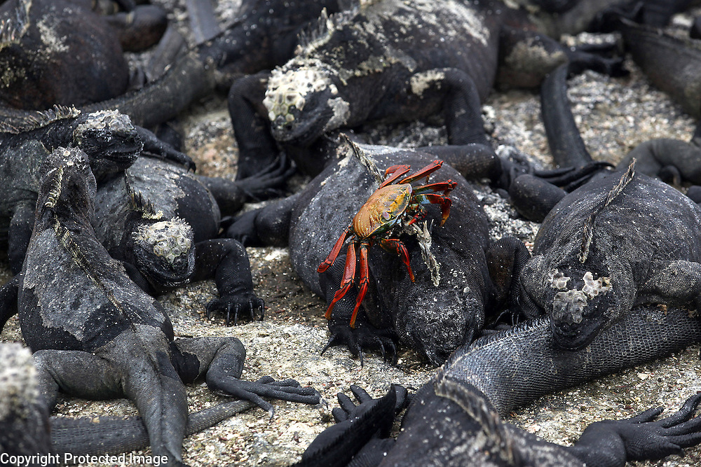 A sally lightfoot crab crawls over marine iguanas, found only on the Galapagos Islands, on Fernandina Island. The marine iguana is the only modern lizard that lives and forages in the sea and its primary food source is marine algae. Because they have to rid their bodies of excess salt, one can often see marine iguanas making a sort of sneezing sound and expelling water and salt from their noses.
