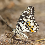 The Lime Butterfly, Papilio demoleus demoleus