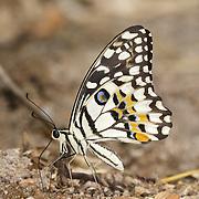 The Lime Butterfly, Papilio demoleus demoleus