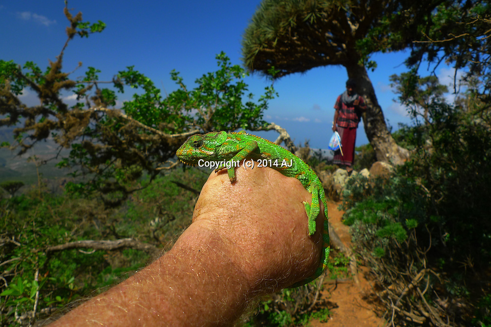Chameleon sitting on man's hand; Socotri man in background under dragon blood tree.