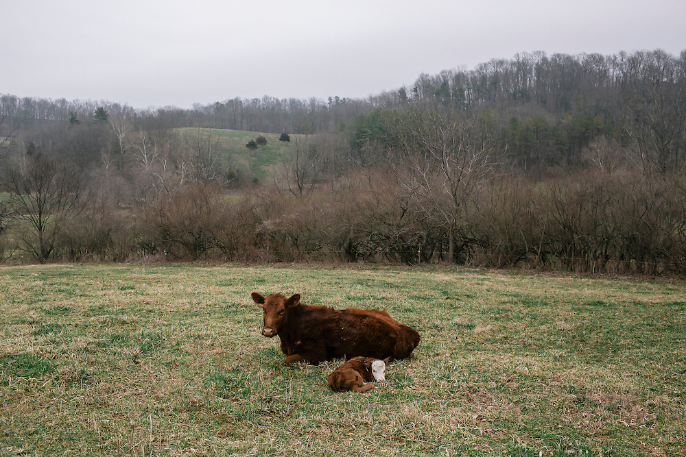 SWOOPE, VA - MARCH 26 A newborn calf is protected by it's mother at Polyface Farms in Swoope, Va. on March 26, 2015. Joel Salatin, owner of the farm, is one of the heroes of the sustainable-food movement, and he appeals to both left- and right-wing audiences.  (Photo by Greg Kahn/GRAIN for The Washington Post)