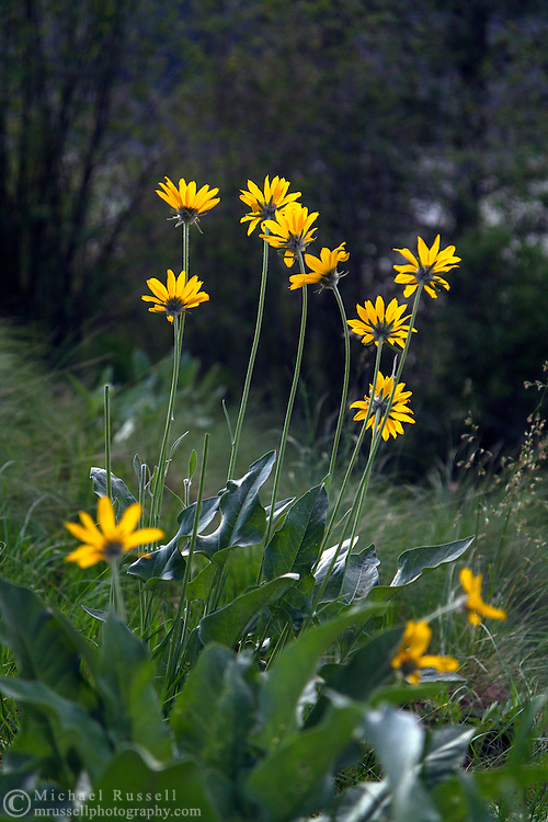 Arrowleaf Balsamroot (Balsamorhiza sagittata) growing along the Grassland Trail in Kalamalka Lake Provincial Park near Coldstream, British Columbia, Canada