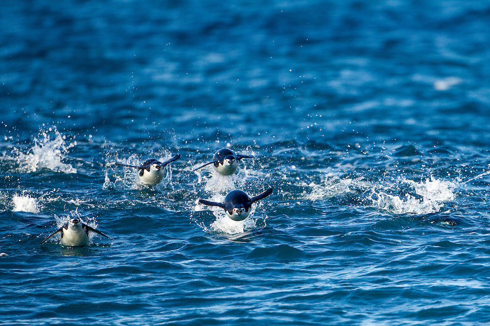 Antarctica, South Shetland Islands, Chinstrap Penguins (Pygoscelis antarcticus) porpoise while swimming toward Bailey Head on Deception Island