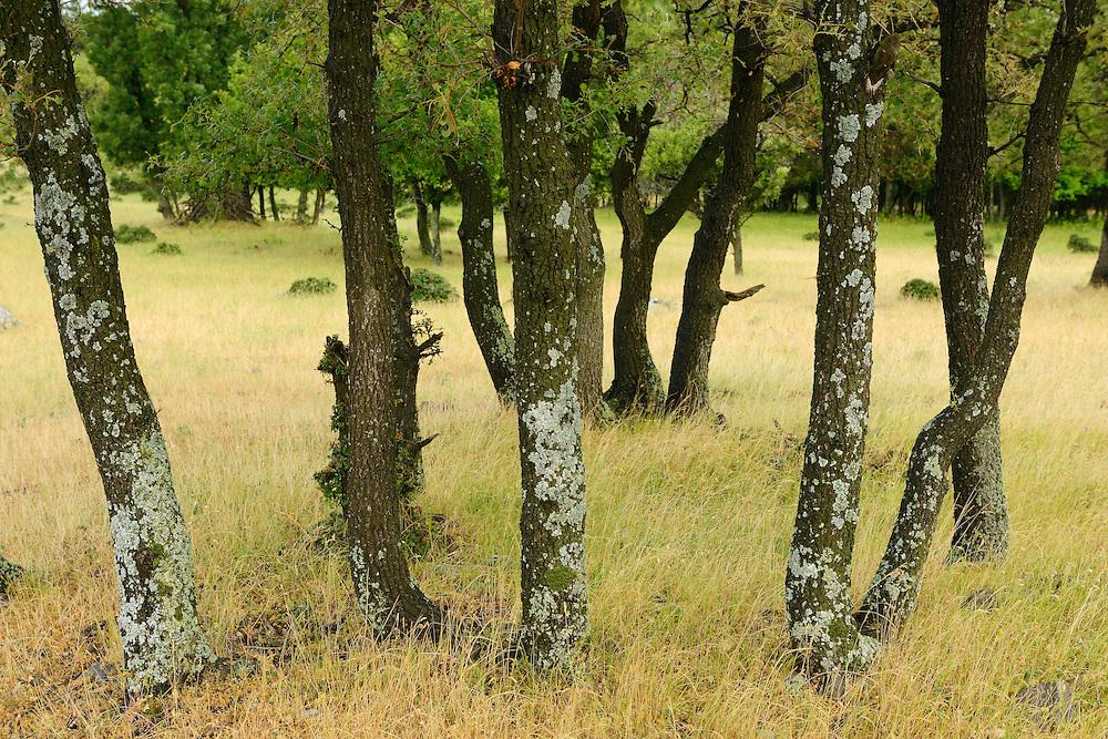 A landscape grazed by wild, native original Fallow deer, Dama dama, Studen Kladenets reserve, Eastern Rhodope mountains, Bulgaria