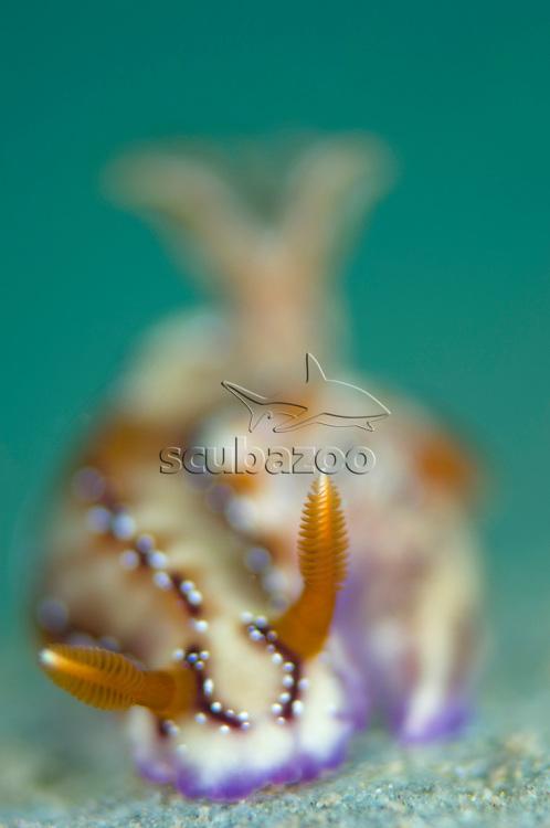 Nudibranch, Hypselodoris sp., Anilao, Solo, Anilao Mabini, Batangas, Philippines