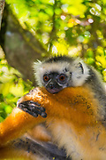 Diademed Sifaka (Propithecus diadema) is an endangered species of sifaka, one of the lemurs endemic to certain rainforests in eastern Madagascar.