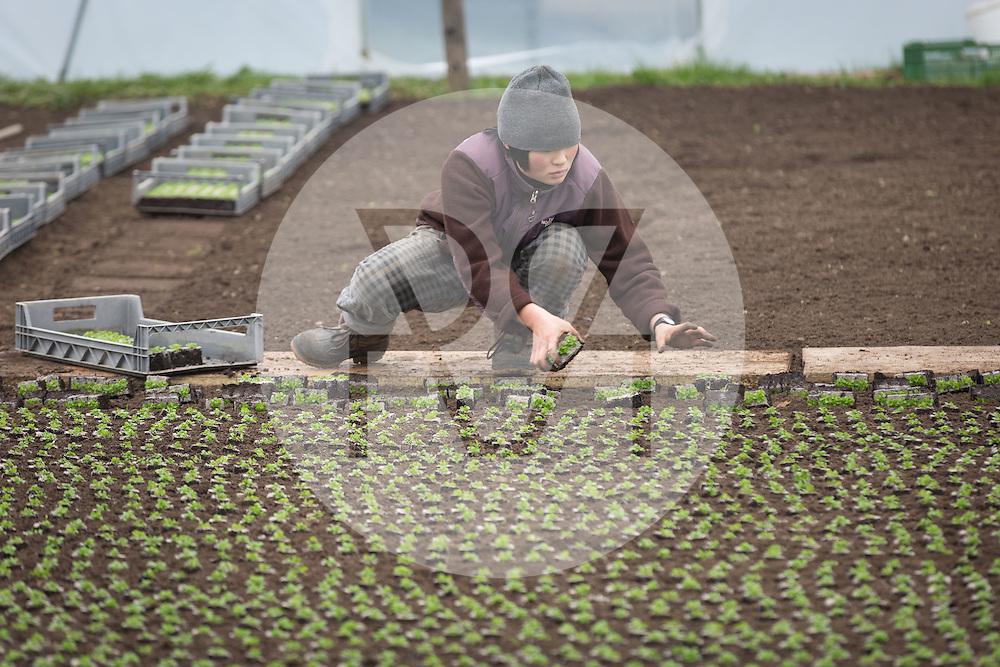 SCHWEIZ - MEISTERSCHWANDEN - Eine junge Frau pflanzt Nüsslisalat in einem Gewächshaus - 06. Dezember 2016 © Raphael Hünerfauth - http://huenerfauth.ch