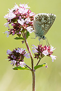 Chalkhill blue butterfly (Lysandra coridon) on marjoram. Denbies Hillside, Nr. Dorking, Surrey, UK.