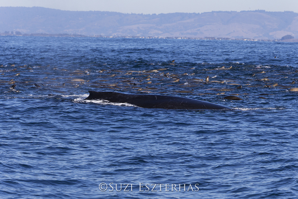 Humpback Whale<br /> Megaptera novaeangliae<br /> Feeding on anchovy with California sea lions (Zalophus californianus)<br /> Monterey Bay, California