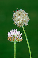 STRAWBERRY CLOVER Trifolium fragiferum (Fabaceae) Height to 15cm. Perennial with creeping stems that root at the nodes. Found in grassy places, mainly on clay and often near the sea. FLOWERS are pink and borne in globular heads, 10-15mm across (Jul-Sep). FRUITS are inflated, pinkish heads that resemble pale berries. LEAVES are trefoil with oval, unmarked leaflets. STATUS-Local in S; mainly coastal.