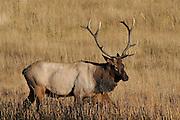 Bull Elk, Elk, Cow Elk, Bull and Cow Elk, Yellowstone National Park, Wyoming