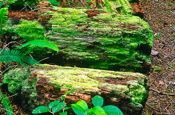 Moss covered logs found in the Hoh Rain Forest.  Olympic National Park, Washington.