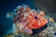 Red scorpionfish-Rascasse rouge (Scorpaena scrofa)