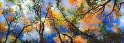 Autumn cottonwoods, Riverside Park, Palisade, Colorado, panorama