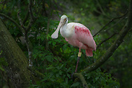The roseate spoonbill (Platalea ajaja) is a gregarious wading bird of the ibis and spoonbill family, Threskiornithidae. It is a resident breeder in Florida and many other tropical places in the Americas