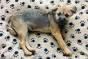 Cute Border Terrier puppy 12 weeks old lying on fleece pawprint dog bed