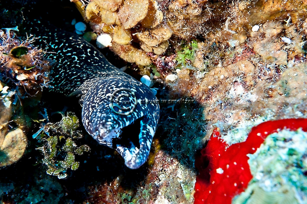 Spotted Moray, Gymnothorax moringa, Grand Cayman