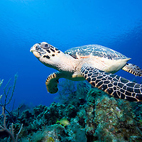 Cayman Islands, Little Cayman Island, Underwater view of Hawksbill Turtle (Eretmochelys imbricata) swimming above coral reef near Bloody Bay Wall