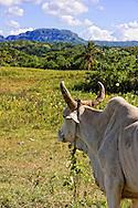 Oxen in Vinales area, Pinar del Rio, Cuba.